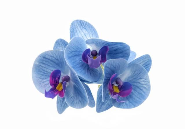 mystical blue phalaenopsis orchid