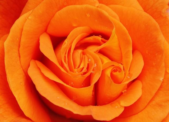 rose_orange_close_flower_blossom_bloom_orange_roses_plant-604965.jpg