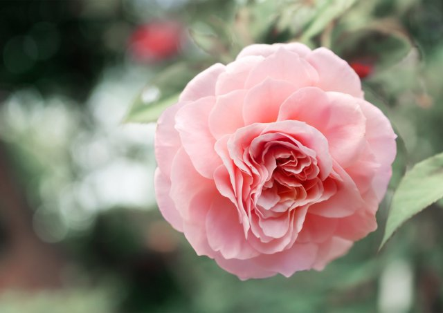 Chantecaille-Centifolia-Rose.jpg